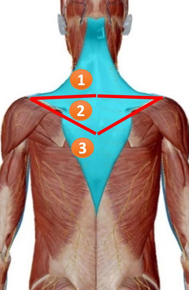 肩こり・首こりを感じる部分の筋肉は僧帽筋の上部繊維。