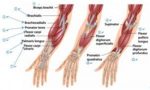forearm-muscles-e1472343121542